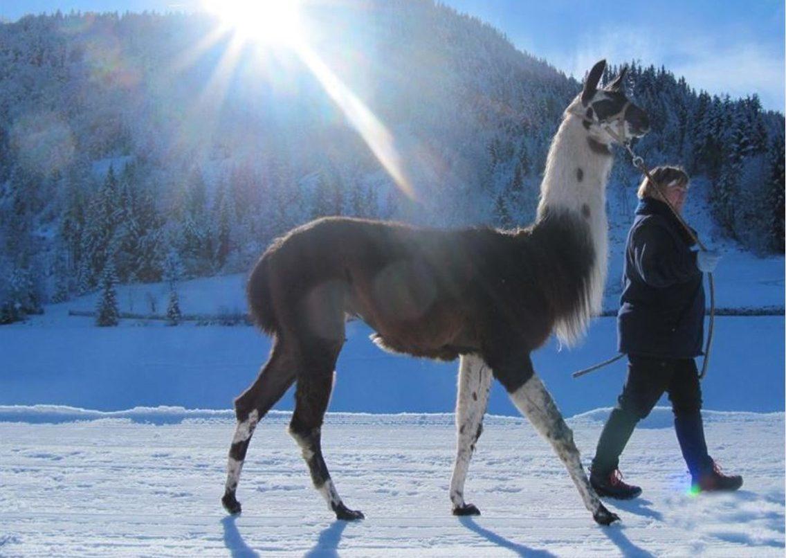 Winterwandeling met lama's